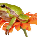 Grenouille Fotolia