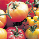 Planter ses tomates La Bourdaisire