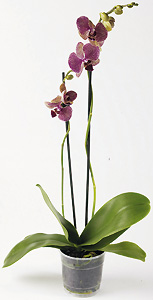 Orchidee papillon